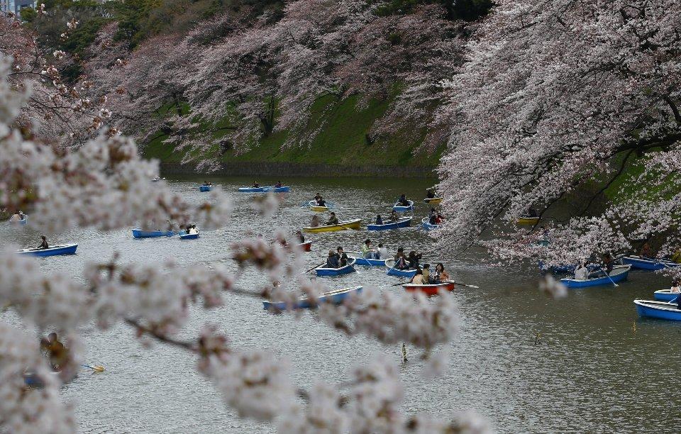 традиция любования цветущей сакурой-5