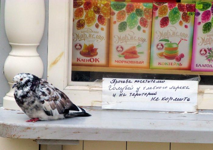 Бастующий голубь.