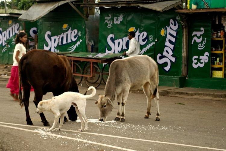 Бездомные коровы – одна из проблем Индии
