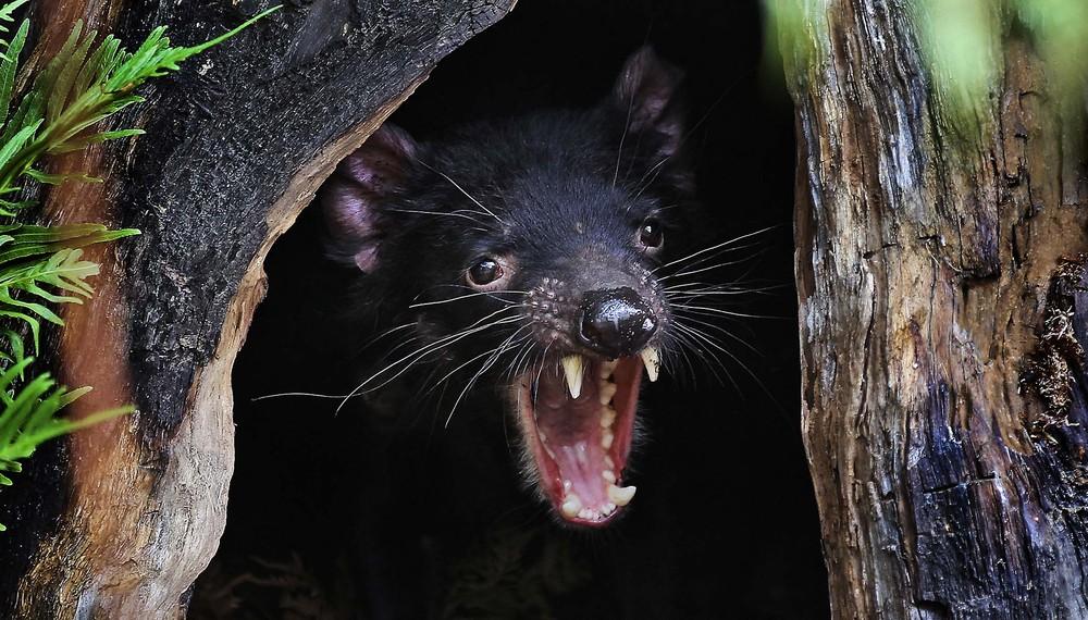 Тасманский дьявол: «Закрой свой Зубальник!» или статья про самого безумного хищника