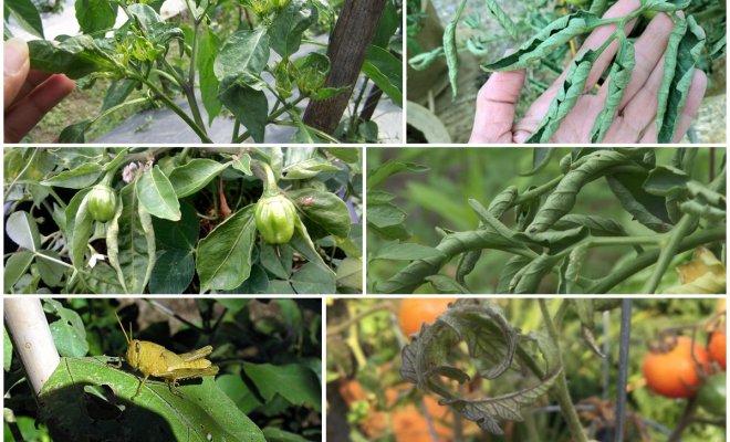 Почему у помидоров и перца скручиваются листья и что нужно делать