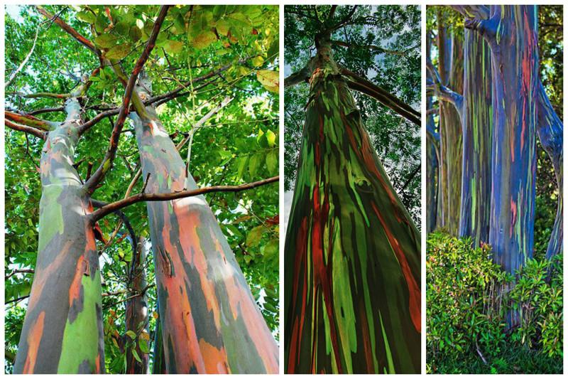 Árvores de eucalipto arco-íris, incrível, natureza, incrível, flora