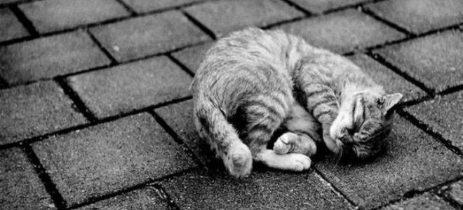 к чему снится мертвый кот