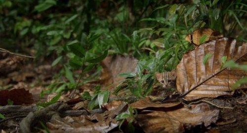 Ржавая кошка: самая маленькая представительница семейства кошачьих