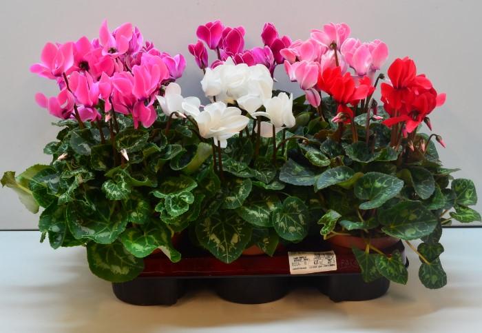11 холодоустойчивых растений, которые можно выращивать на балконе до заморозков комнатные растения,полезные советы