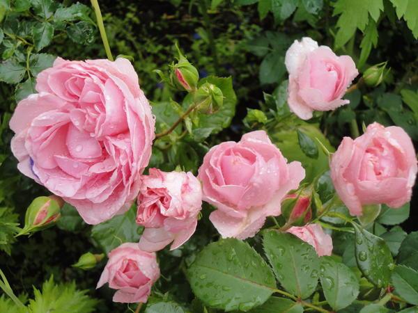 САД, ЦВЕТНИК И ОГОРОД. Обзор лучших сортов зимостойких роз