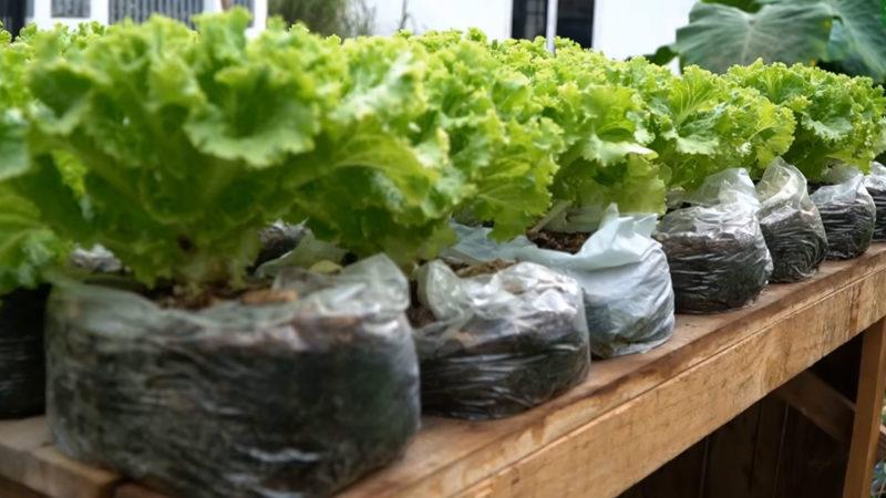 Много свежего салата: простейший способ в пакетах своими руками,сделай сам