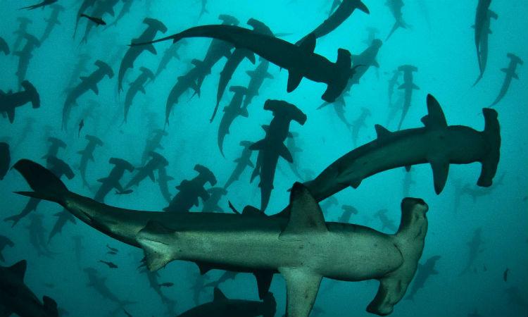 Акулы окружили необитаемый остров и не подпускают кладоискателей к сокровищам