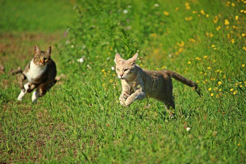3. Эти удивительные животные способны развивать скорость до 50 км/ч на коротких расстояниях. Для сравнения средняя скорость бега одного из самых быстрых людей на планете - Усейна Болта, равна 44 км/ч. кот, кошка, факты