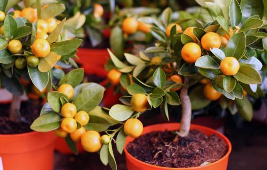 Домашний мандарин из косточки: посадка и уход. Сколько придется ждать плодов от мандарина посаженного косточкой?
