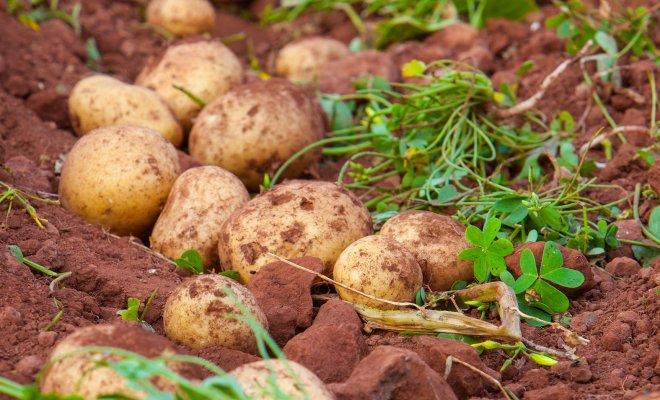 : что посадить на месте выкопанного раннего картофеля