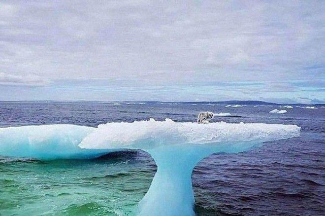 арктическая лиса на айсберге лиса на льдине