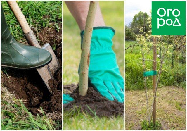 """5 проверенных способов """"заставить"""" грушу быстрее плодоносить садоводство"""