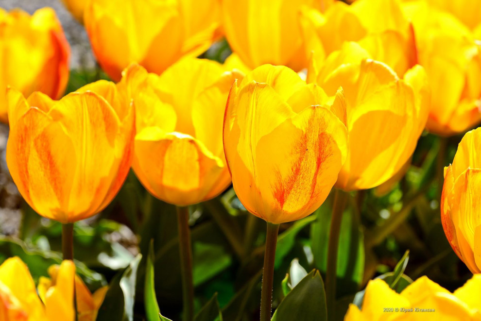 Виртуальный Парад тюльпанов в Никитском саду Крыма