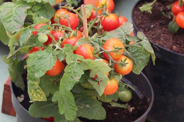 Домашний томат. Есть ли смысл выращивать помидоры на лоджии?