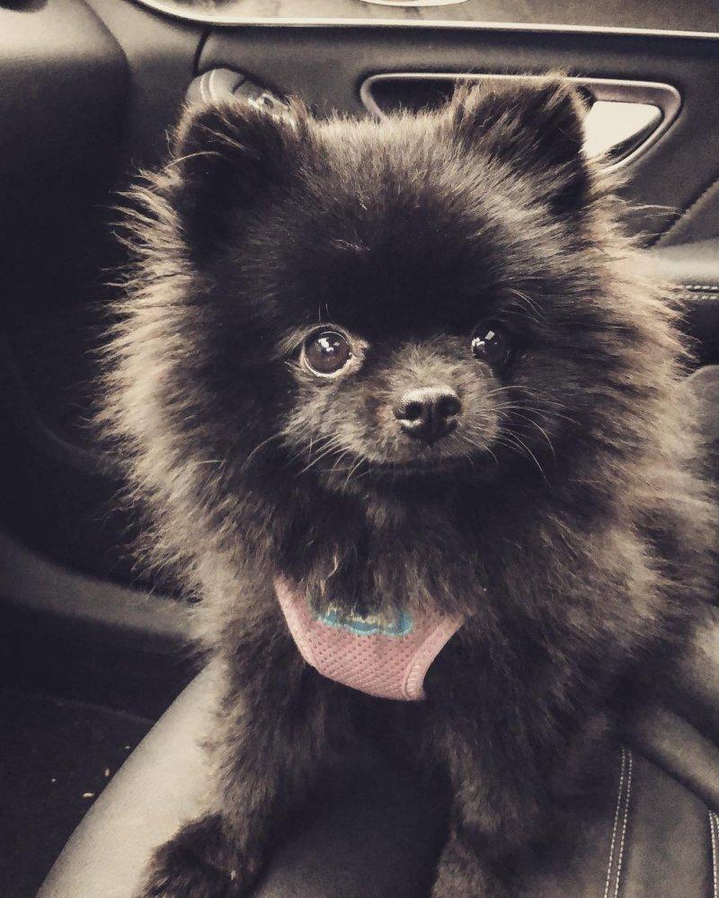 Шпиц-милашка влюбил в себя более миллиона человек померанский шпиц, порода, собака, черный шпиц, шпиц
