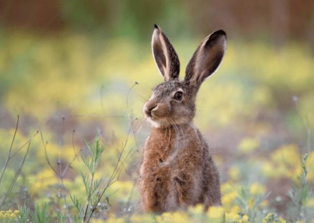 Опустевший Милан с каждым днем все больше наполняется дикими кроликами