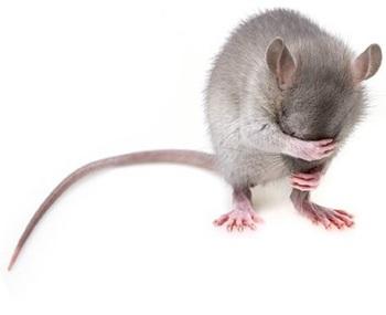 Видео, как крыса вылезла на капот автомобиля во время езды