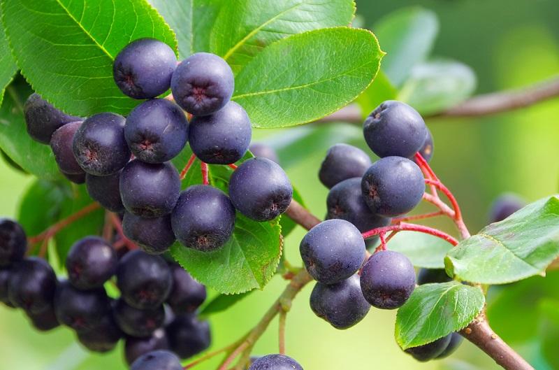 Одна из самых полезных ягод. Угнетает раковые клетки, замедляет старение, понижает давление…