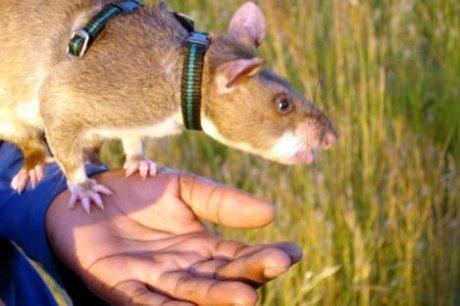 Афганская крыса СССР, городские легенды, детство, история