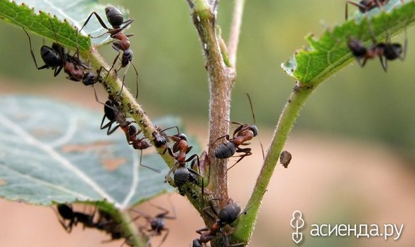 Боремся с муравьями