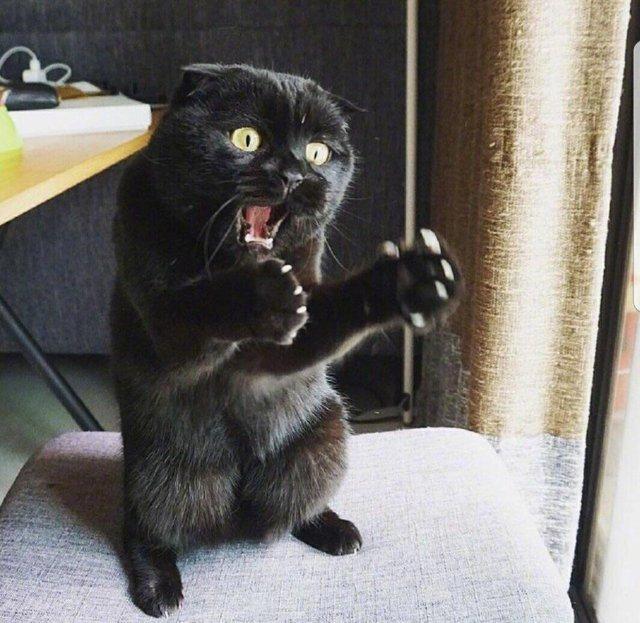 20 кошек, которые развеселят вас своей стойкой на задних лапах задние лапы, кот, коты, кошка, подборка, смешно, юмор
