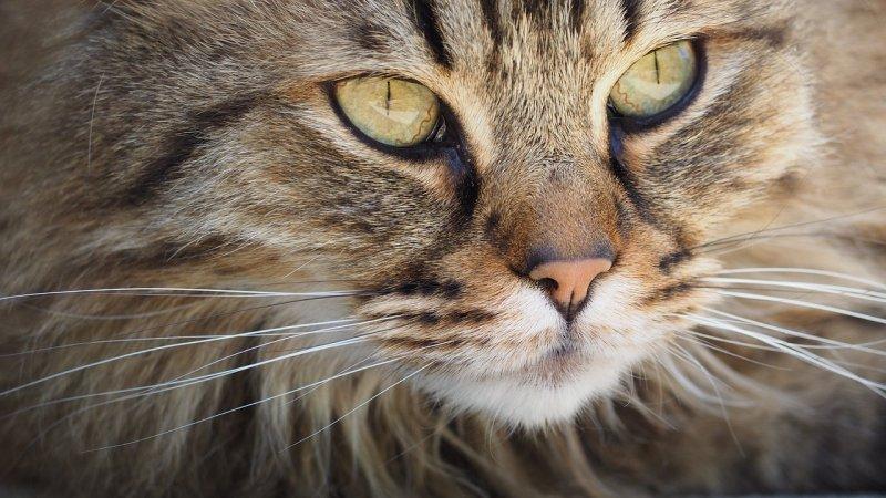 13. Все кошки в какой-то степени дальтоники. Например, они почти не различают зеленый цвет и видят его скорее красным. кот, кошка, факты