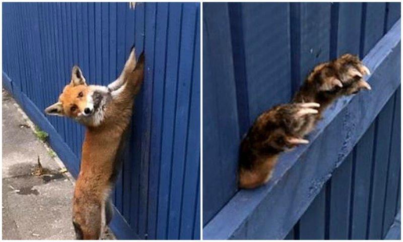 """""""Поможете, люди?"""": лисица застряла лапами в заборе, пытаясь перепрыгнуть его дикие животные, животные, истории, лиса, лисица, помощь животным, спасение животных, фото"""