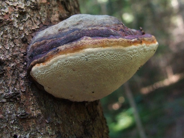 Ученые нашли на Дальнем Востоке грибы, вылечивающие рак