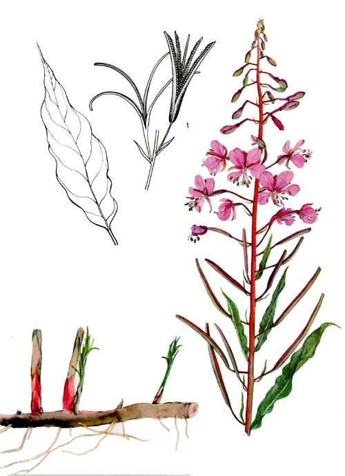 растение кипрея