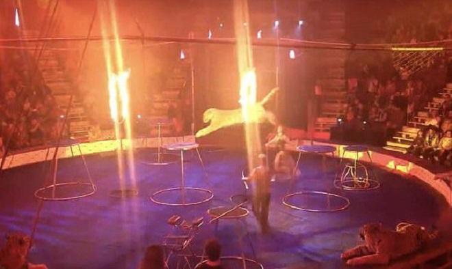 Тигр выступает на арене цирка
