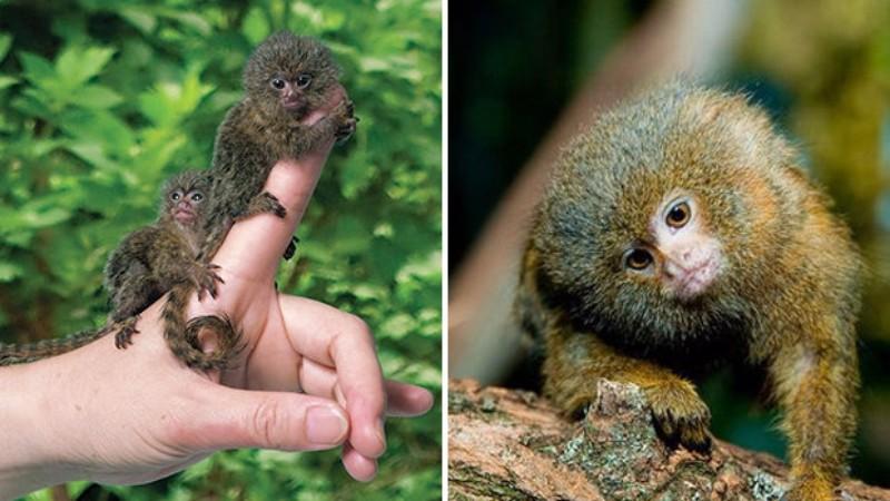 Ученые нашли самых крошечных обезьян в мире
