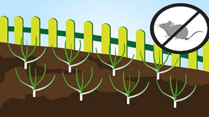 Как вырастить чеснок на грядке: лучшие рекомендации для садоводов-любителей