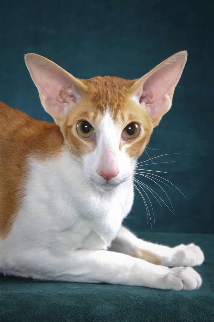 буду картинки пород кошек с большими ушами звучат слова