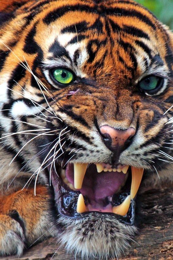 Картинка оскал тигриный