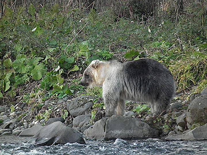фото курильского белого медведя покупки легко