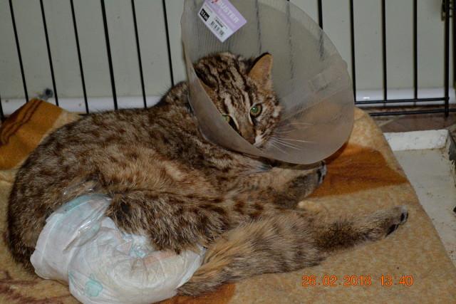 В приморье спасли редкого дальневосточного лесного кота
