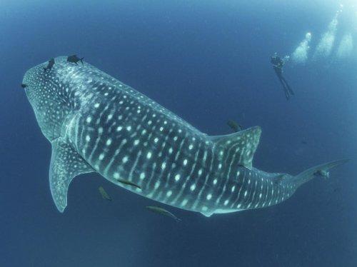 Найдена самая большая рыба в мире