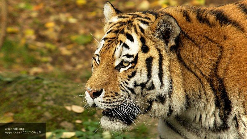 Приморские стоматологи вылечили зубы старейшему в регионе амурскому тигру