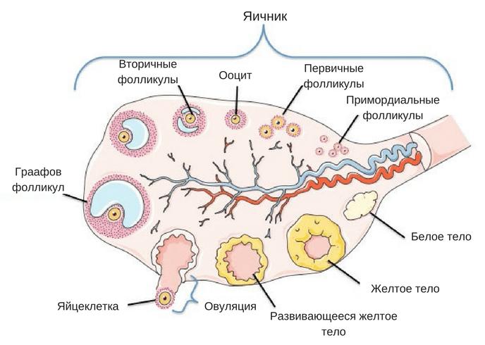 Фолликулогенез яичника, фолликулов, фолликулы, будет, фолликул, ультразвукового, яйцеклетки, фолликула, яичнике, развития, ультразвуковой, диагностики, происходит, время, всего, соединительной, полость, антральные, начинают, полового