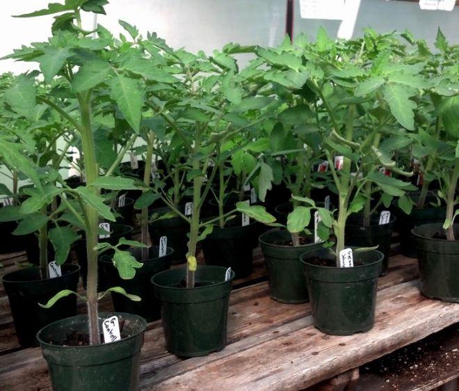 посадка томатов бычье сердце на рассаду