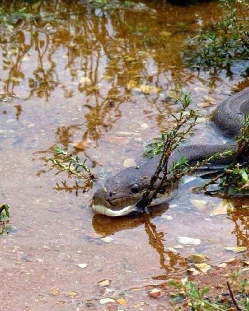 Другие же задавались вопросом, не слишком ли опасно было делать эти снимки в мире, добыча, еда, животные, крокодил, охота, питон, природа