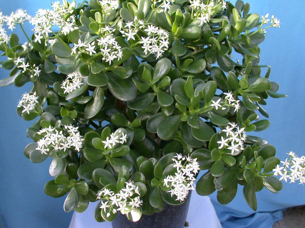 Где должно стоять Денежное Дерево в квартире, чтобы растение быстро росло и Красиво цвело