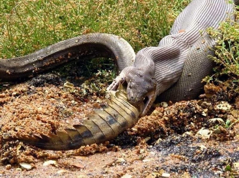 Питоны часто нападают на пресноводных крокодилов, несмотря на очевидный риск в мире, добыча, еда, животные, крокодил, охота, питон, природа