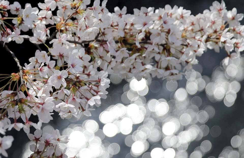 традиция любования цветущей сакурой-2