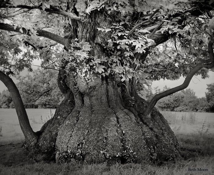 Самые древние и величественные деревья планеты на фото деревья,достопримечательности,планета