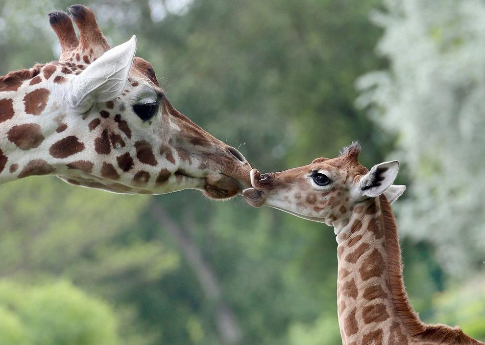 считаются картинки с мамами и детенышами животных как-то
