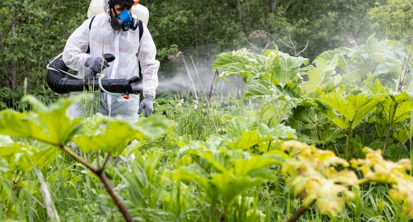 Опасный борщевик: почему на Кавказе, на родине этого растения, с ним никто не борется
