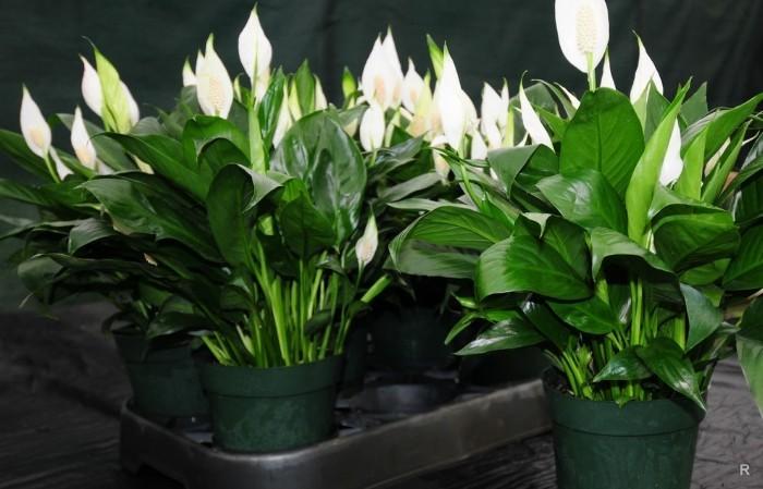 Как живые цветы в вазе влияют на самочувствие и настроение домочадцев цветы, поставить, будет, цветов, букет, комнаты, растений, эмоциональной, помогут, энергию, тёплые, снять, цветыПомогают, вещества, вредные, холодных, всего, оформлена, кухня, растения