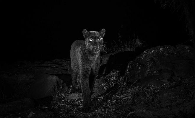 Черный леопард: редкий хищник впервые за 100 лет попал на камеру